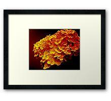 Midas Blossoms Framed Print