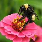 Bumble Bee on Red Zinnia by Ron Russell