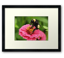 Bumble Bee on Red Zinnia Framed Print