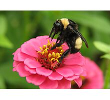 Bumble Bee on Red Zinnia Photographic Print