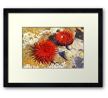 Two Red Sea Anemones Framed Print