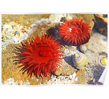 Two Red Sea Anemones Poster