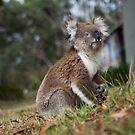 Koala in the Backyard by jamjarphotos