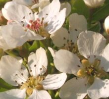Apple Blossom White Sticker