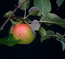 Fresh Apple by sunshine65