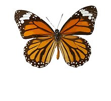 Monarch Butterfly by kwg2200