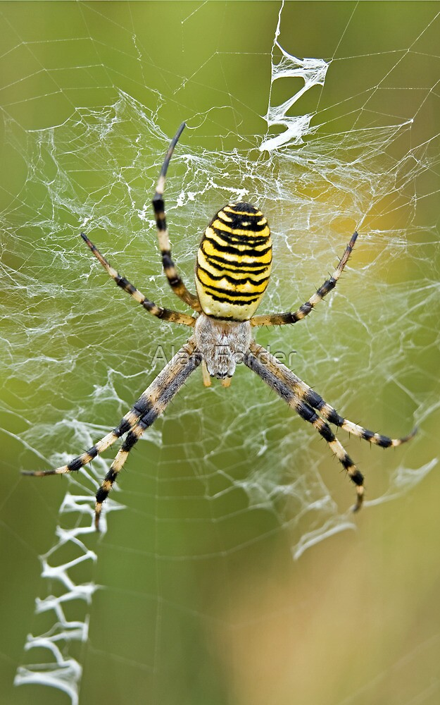 Wasp Spider by Alan Forder