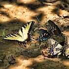 Swallowtail Convention by Rick  Friedle