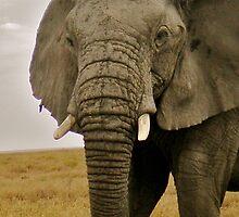 Serengeti Elephant by WhirlwindPress