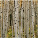 Aspen Grove In Fall, Kebler Pass by printscapes
