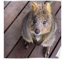 Quokka - Well hello there Poster