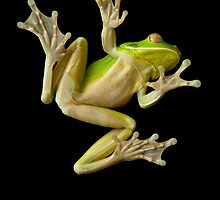 White Lipped Green Tree Frog by RichardCurzon