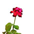 Single Magenta Red Rose, Isolated by ivDAnu