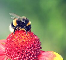bumblebee on a red blossom by syoung-photo