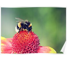 bumblebee on a red blossom Poster