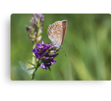 Female Common Blue - Polyommatus icarus Canvas Print