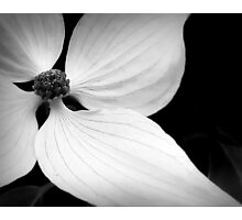 The Delicate Lines of Dogwood Photographic Print