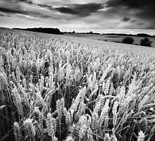 Harvest Whisper BW by Andy Freer