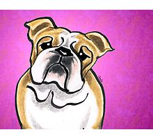 Bulldog Fawn/White Pink Photographic Print