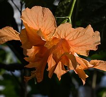 Glowing Orange Hibiscus by Georgia Mizuleva
