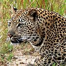 THE TENSE LEOPARD – Panthera pardus - LUIPERD by Magaret Meintjes