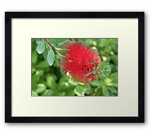 Beautiful Bottle Brush Flower With Garden Background Framed Print