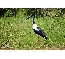 Black-necked Stalk, Kakadu National Park Photographic Print