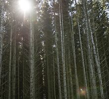 The sun shining through some Scots Pine trees by Alexander Chesham