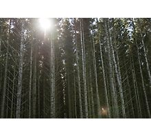 The sun shining through some Scots Pine trees Photographic Print