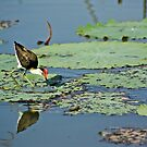 Comb-crested Jacana by waxyfrog