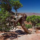 Juniper Tree In Canyonlands by DavidHintz