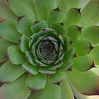 Houseleek (Sempervivum) Photo with purple tips by Scott Lyons
