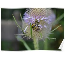 Bumble Bee sitting on a Teasel (Dipsacus) Poster