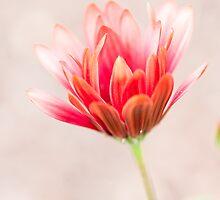 Echinacea Coneflower by Alexander Chesham