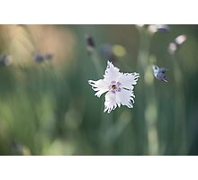 Dianthus Monspessulanus Flower, Fringed Pink Photographic Print