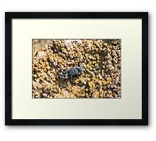 Little Crab Framed Print