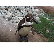 Posing Penguin Photographic Print