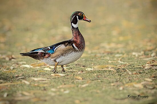 Fall Wood Duck (Male)  by KatMagic Photography