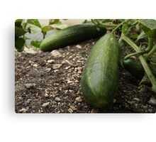 Colossal Cucumbers Canvas Print