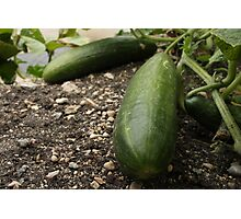 Colossal Cucumbers Photographic Print