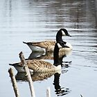 Majestic Geese in Pond by Kelly Betts