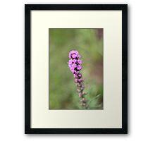 Purple Liatris Framed Print