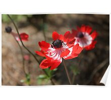 Red Anemone  Poster