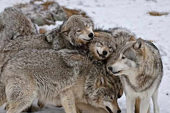 Playful Wolf Pack by WolvesOnly