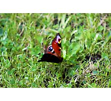 Butterfly on grass Photographic Print
