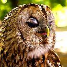 Sleepy owl by MarekM