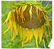 Wilted Sunflower Poster