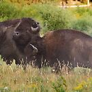 Fighting Bison in Yellowstone National Park by cavaroc