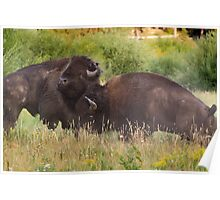 Fighting Bison in Yellowstone National Park Poster