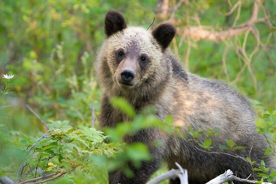 Grizzly Bear Cub Making Eye Contact by cavaroc